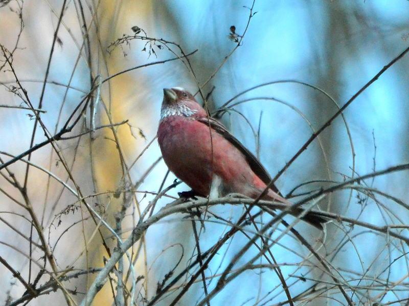 Abk_553501 頭が赤いですね。オスの若鳥でしょうか。 これも顔が赤いですね。オスの若..